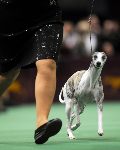 italian greyhound at westminster dog show